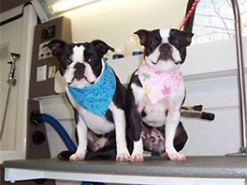 My pups, grooming by Dog Gone Hairy Mobile Dog Grooming