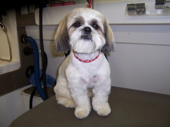 Sweet shitzu, grooming by Dog Gone Hairy Mobile Dog Grooming