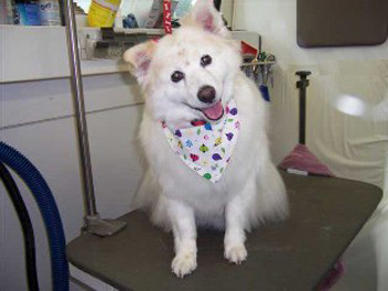 White Cutey, grooming by Dog Gone Hairy Mobile Dog Grooming