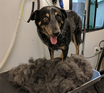 de-shedding, grooming by Dog Gone Hairy Mobile Dog Grooming